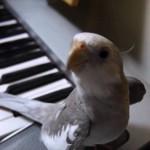 【お笑い】インコが「となりのトトロ」を歌った!w