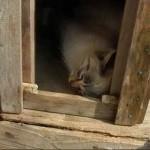 【かわいい!癒し系】木の箱の中で寝ている白猫