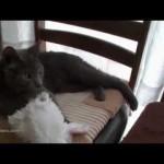 【ワラタ!かわいい!癒し系】自分でコスプレする猫!