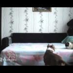 【ワラタ!爆笑!】飼い主がいない間にベッドではしゃぐ犬が凄すぎ!