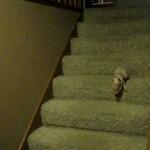 【超かわいい!】餌が食べたくて必死に階段を降りる子豚ちゃん!