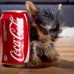 【絶対必見!カワイイ!】ピョコピョコ!世界一小さい犬が、かわいすぎる!