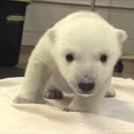 【かわいい!ぬいぐるみみたい!】白熊の赤ちゃんが生まれて初めて立った瞬間!