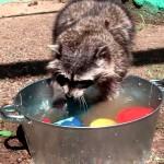 【素早い動き!ワラタ!】食器を手洗いしてくれるアライグマ!