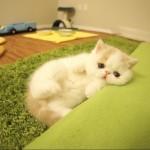 【かわいい!】ワンと吠える小猫がビデオカメラを恥ずかしがる様子!