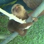 【めっちゃカワイイ!】ウー!となくナマケモノの赤ちゃんがとても元気!