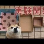 【おもしろ実験!】柴犬が入る箱をどんどん小さくしていった!