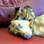 【ワラタ!気持ち良さそう!】ベンガル猫の肉球マッサージを受ける犬!