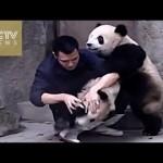 【かわいい!】薬を飲むのが嫌で必死に抵抗するパンダ!