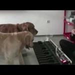 【お見事!凄いゴールデンレトリバー!】犬2匹が犬専用ピアノで猫ふんじゃったを演奏!