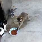 【爆笑!メチャワラタ!】猫の餌を取っていくアライグマが人間そっくり!