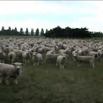 【メチャワラタ!】声をかけると必ず一斉に返事をする羊の群れ!
