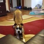 【面白い!】新しく買ったソファーに乗りたいボクサー犬!