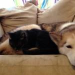 【かわいい!癒し系】ハスキー犬をふわふわベッドにしてくつろぐ猫!