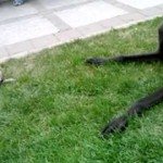 【かわいい!】チワワが大型犬に挑む!