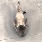 【めっちゃワラタ!】猫が一生懸命に腹筋運動してる!