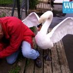【野生動物保護のお仕事は大変!】親白鳥に攻撃されつつも白鳥のヒナを救出!