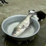 【ワラタ!】魚が大きすぎて持っていけない猫!