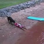【超真面目な犬!ラブラドールレトリバー!】海で遊ぶ子供を救助する犬!