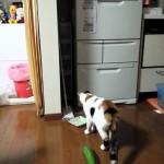 【爆笑!凄い習性】きゅうりで大ジャンプする猫!