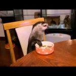 【かわいい】椅子に座ってお行儀良く食事をするカワウソ!