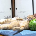 【かわいい】スイカを枕にして寝る猫!