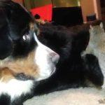 【ワラタ!】犬の毛の中にどんぐりを隠そうとするリス!