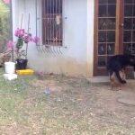 【2度見した!】ライオンに狙われた犬の運命は・・・!?