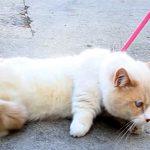 【どうやってやる?】猫の散歩!