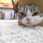 【かわいい!】箱に首をつっこみたい猫!