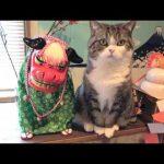 【獅子舞と猫!】まるで置物のようになったネコ!