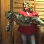【世界最長の家猫!ギネス世界記録認定】通常の猫の2~3倍ある巨大猫メインクーン!