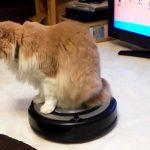 【とっても楽だニャ~♪】お掃除ロボットのルンバに乗って室内を移動する猫!