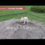 【犬がヒャッハー!】柴犬が砂場で興奮した後、我に返る!