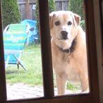 【賢いイヌ!】人間のようにドアを自分で開ける犬!