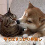 【一緒に育てられた仲良しの犬と猫!】まるで兄弟のような柴犬とネコ!
