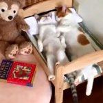 【スヤスヤ】双子の猫2匹がネコ専用ベッドで睡眠!