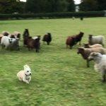 【牧羊犬なのに】羊の群れから逃げる犬!