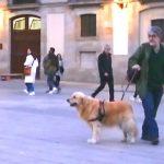 【ヘンデルのオンブラ・マイ・フ】スペインのバルセロナの路上演奏を聴く犬!