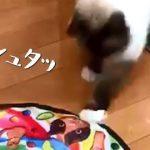 【日本では珍しいバーマンという猫種】電動猫じゃらしで遊ぶネコ!