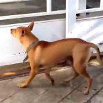 【ベリーロール!?】犬が走り高跳びで門をすり抜ける!