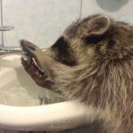 【やっぱりキレイ好き!】アライグマが洗面所を掃除!