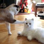 【ロボットキャット VS リアル猫!】ロボット猫を見たネコたちの反応!