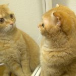 【鏡の中に猫がいる!】鏡に映った猫を他のネコだと思ったねこたち!