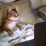 【カザフスタンのアクトベ】イギリスの人気幼児向けアニメ「ペッパピッグ」を観る猫!