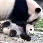 【中国のパンダ】子パンダを教育する母親パンダ!