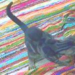 【猫の空腹の伝え方!】朝御飯を催促するネコ!