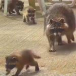 【アライグマ親子の育児!】はしゃぐ子アライグマに母親アライグマが大慌て!