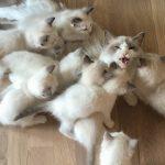 【ノルウェーのネコ!】子猫9匹の世話をする母親ねこ!