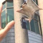 【飼い主に向かって飛ぶ!】モモンガの滑空!